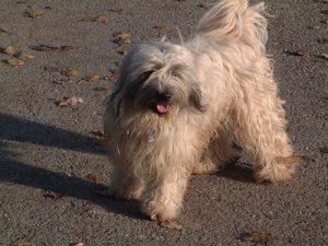 Tibet_Terrier